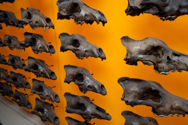 Dire wolf wall of skulls at an angle