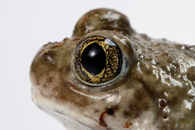 close up of Prince the spadefoot frog