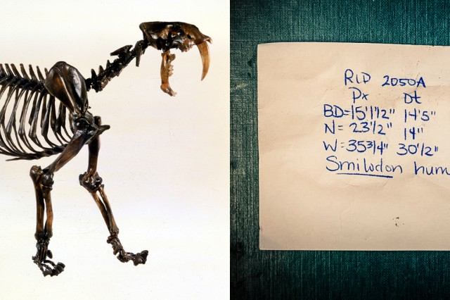 Sabertooth cat skeleton and notecard with field notes