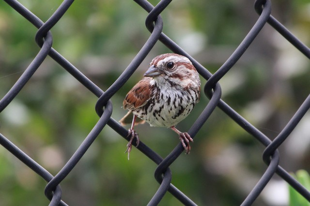 Song Sparrow City Nature Challenge observation 2020