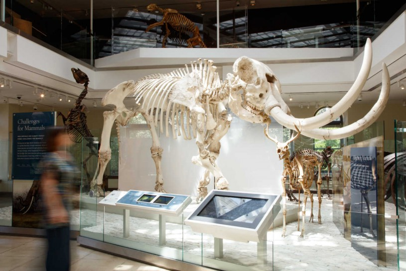 mammoth skeleton in age of mammals