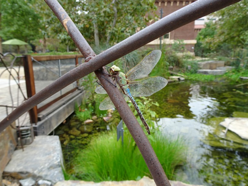 A dragonfly rests on the fence by the pond