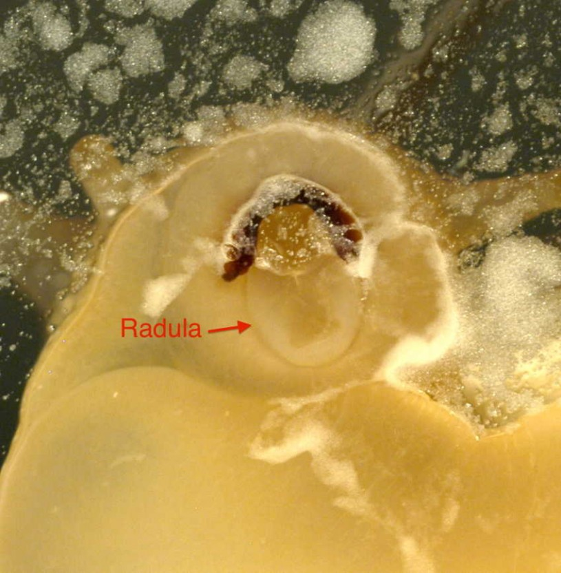 Close up of the open mouth of Cornu aspersum showing the jaw and the pale-colored ribbon of teeth called the radula.