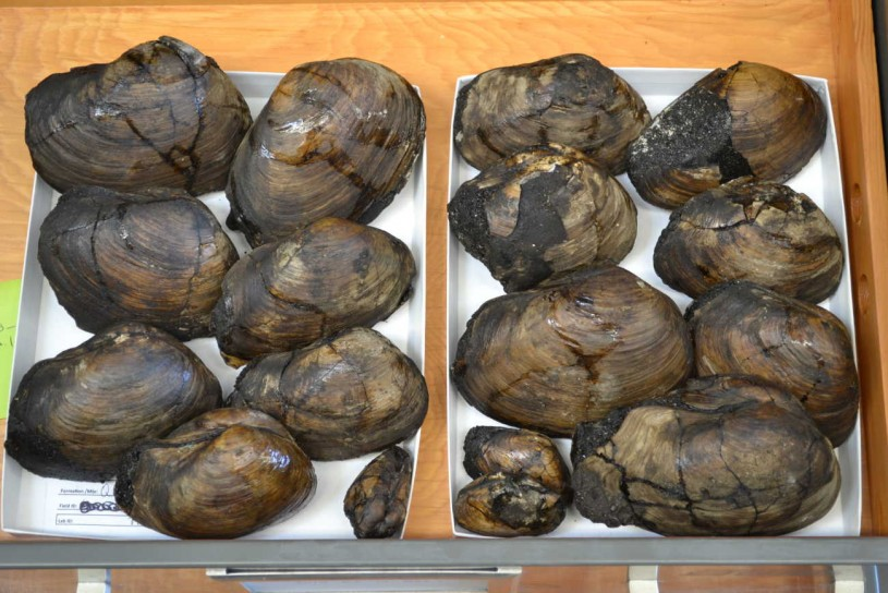 A tray of Pacific Gaper Clam specimens,