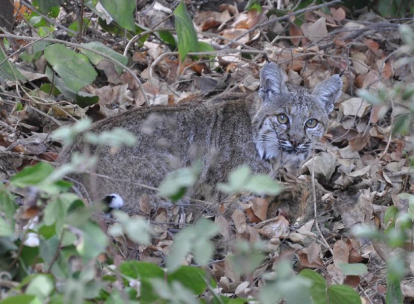bobcat in leaves