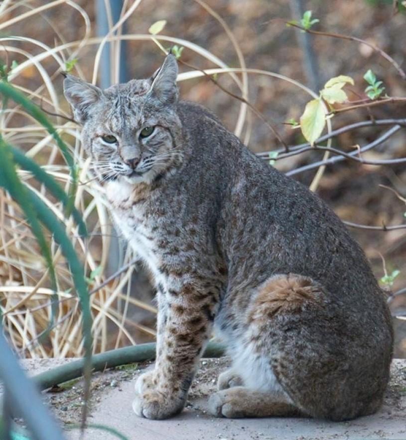 bobcat - photo #41