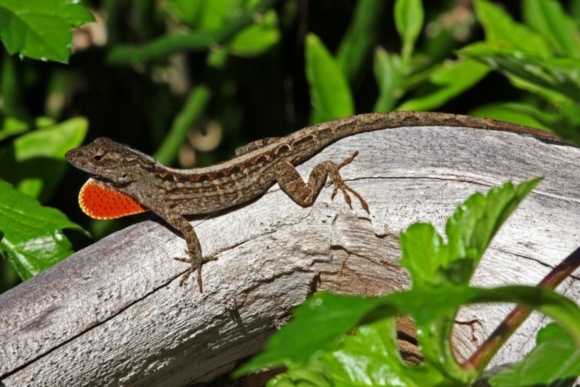A male brown anole displaying his red dewlap, photo bymgiganteus