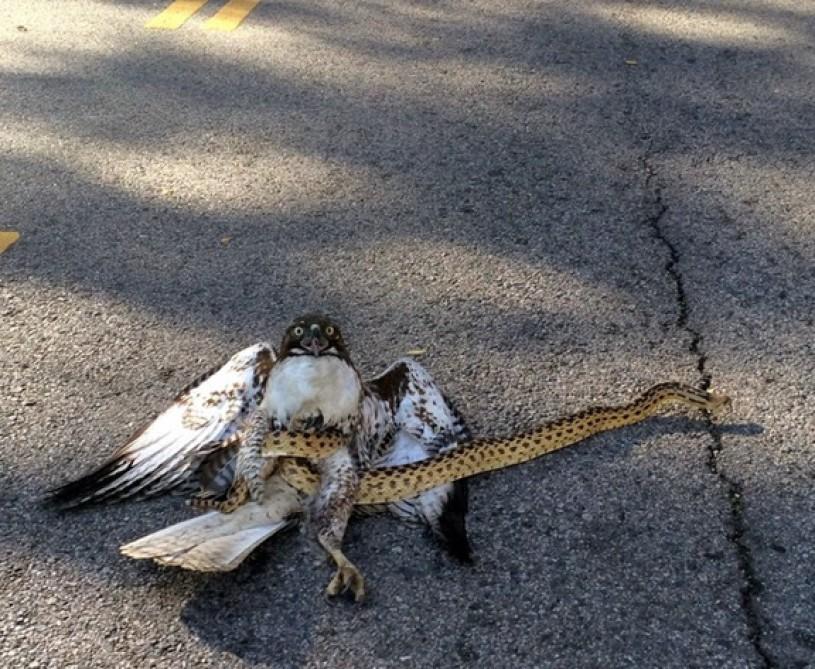 hawk snake