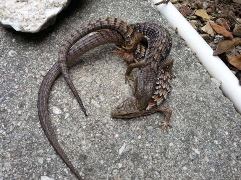 lizard biting another lizard 4