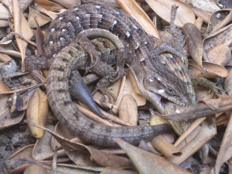 lizard biting another lizard 2