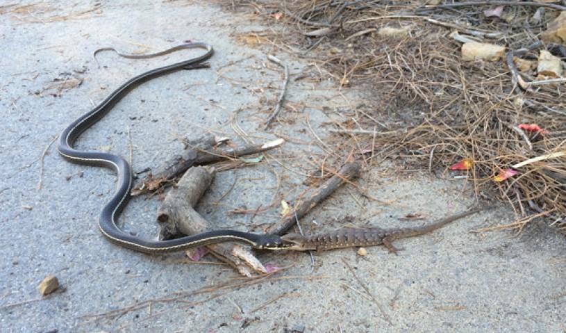 Lizard eating snake