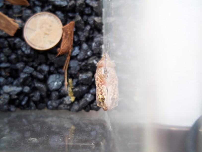 Lizard RASCals project