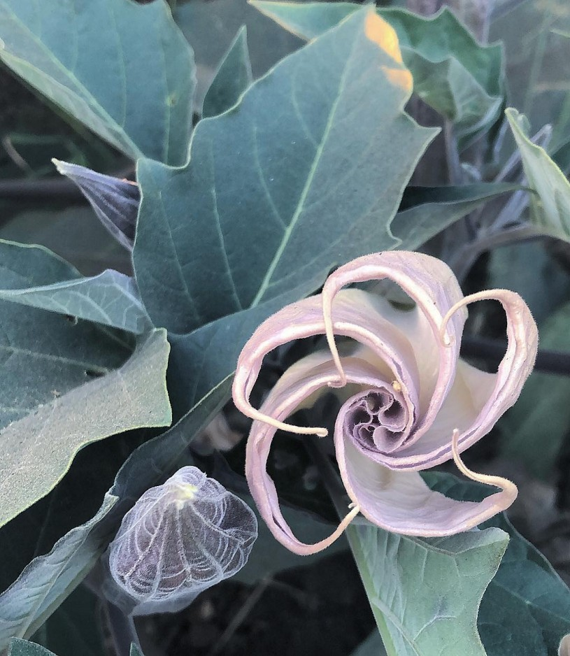 Datura plant in bloom