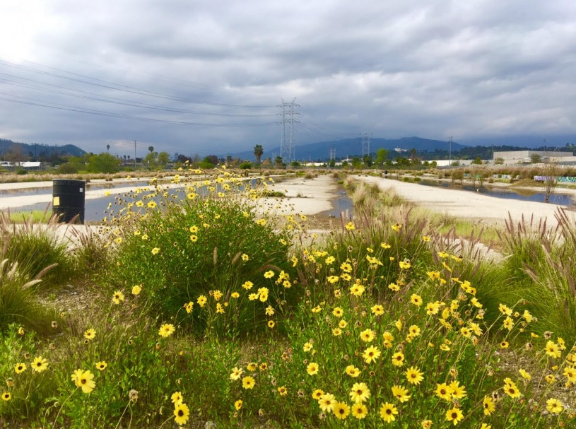 View of the bowtie parcel next to the L.A. River with flowering bush sunflowers