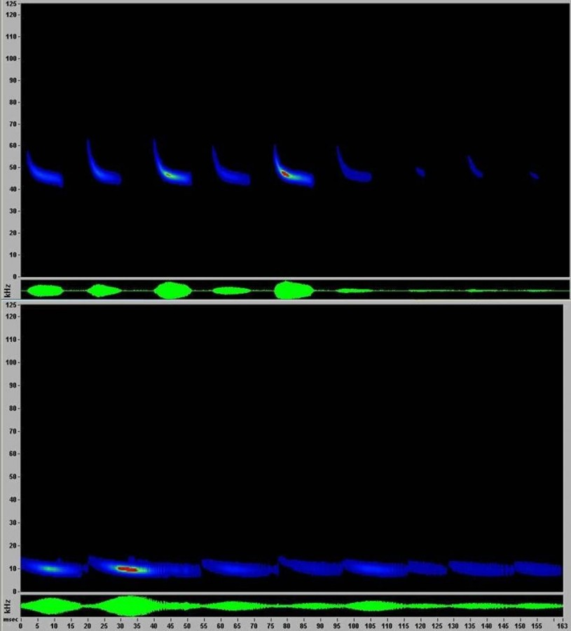 Sonograms of bats detected by Miguel Ordeñana at the L.A. Zoo