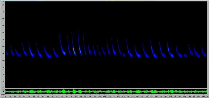 A Western red bat'secholocation visualization detected in the Nature Gardens at the Natural History Museum