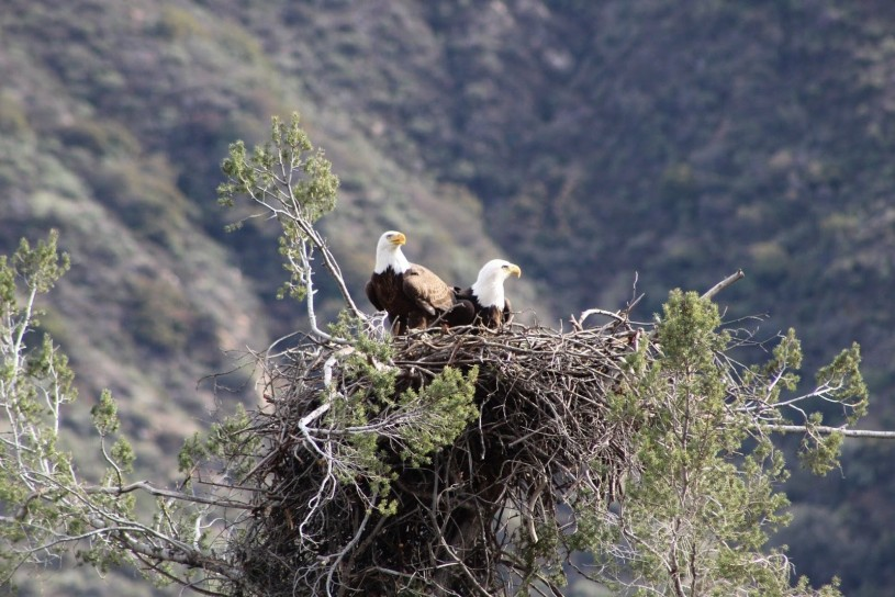 A pair of bald eagles sitting in their nest.