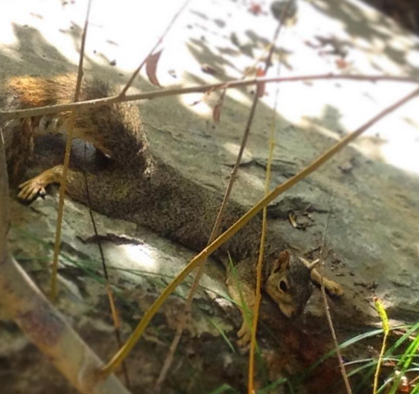 Fox squirrel heat dumping on a rock.