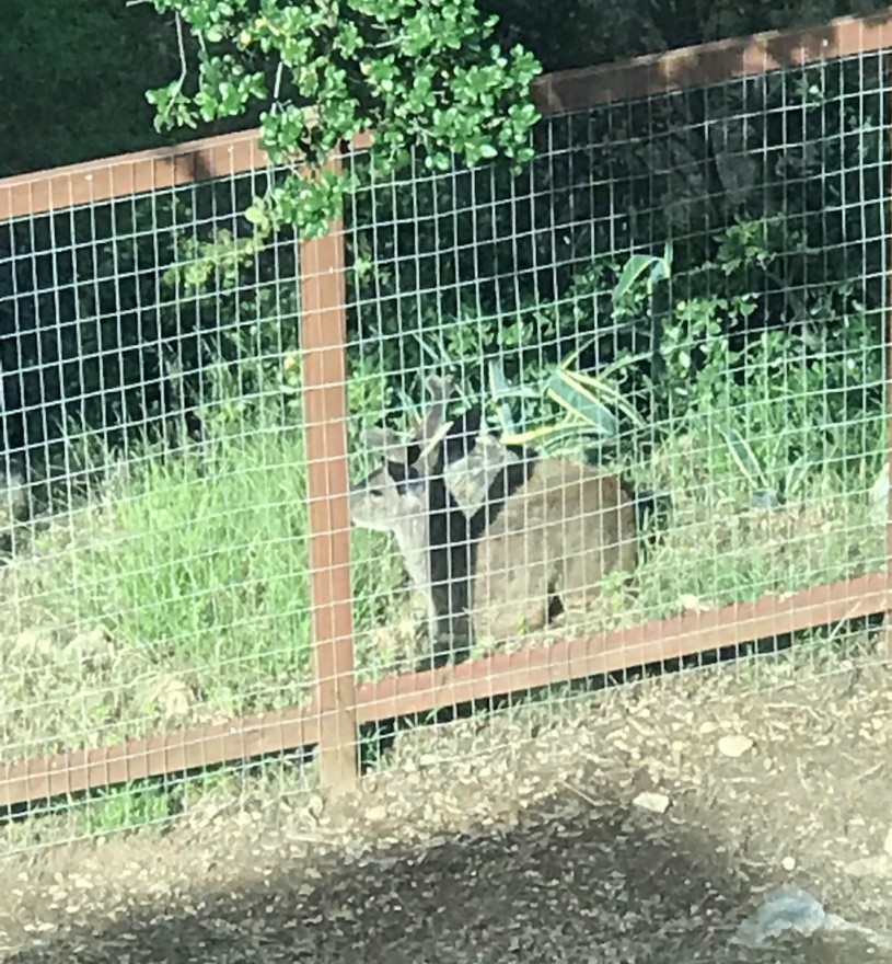 Mule deer laying down by a fence in a Mary's neighborhood.