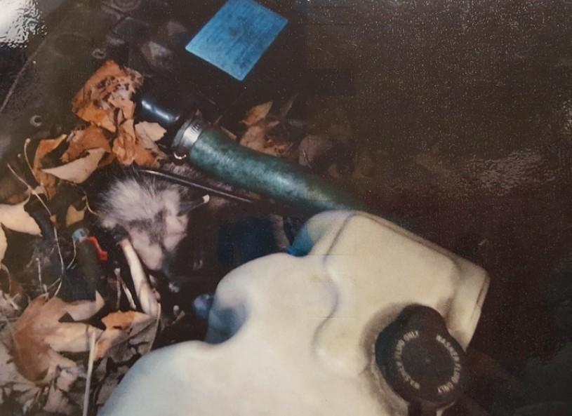 Nest, Den, Opossum, Baby, Engine