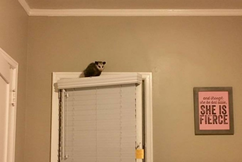 Possum, Opossum, door, interior, wild inside