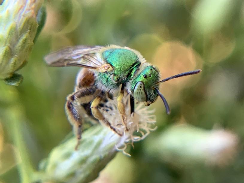 Metallic green bee on a Baccharis flower