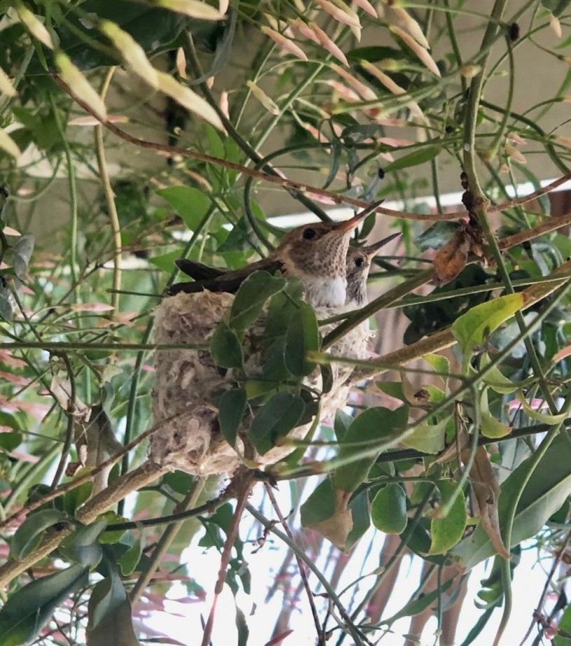 Two hummingbirds sitting in a nest