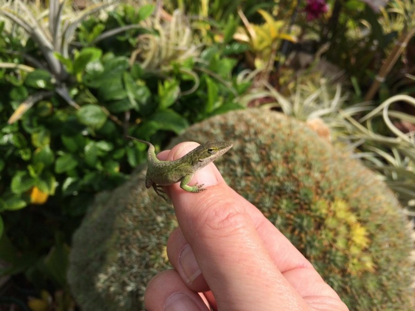 culver city, lizards, discovery, anole