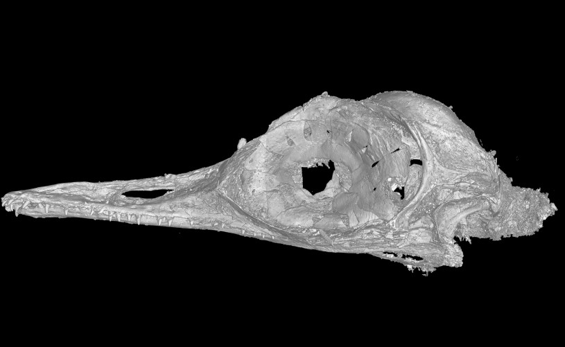 A CT scan of the skull of Oculudentavis by LI Gang, Oculudentavis means eye-tooth-bird, so named for its distinctive features.