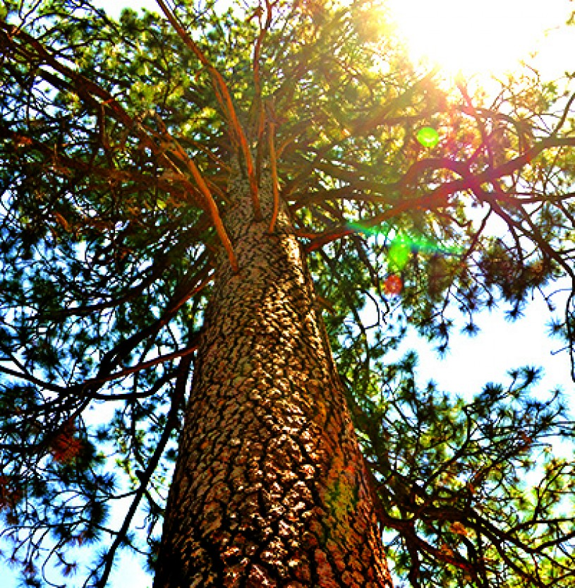 Tall ponderosa, Jeffrey, and Coulter pines at Charlton Flats