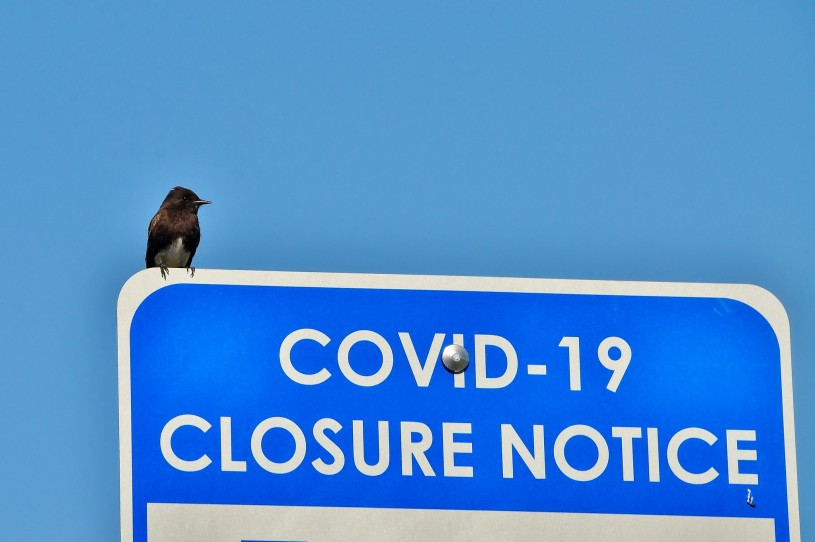 A black phoebe bird perces on a Covid-19 Closure Notice sign.