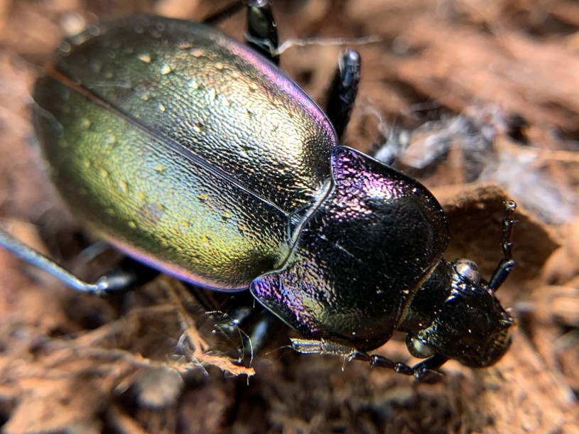 Image of a Ground Beetle.