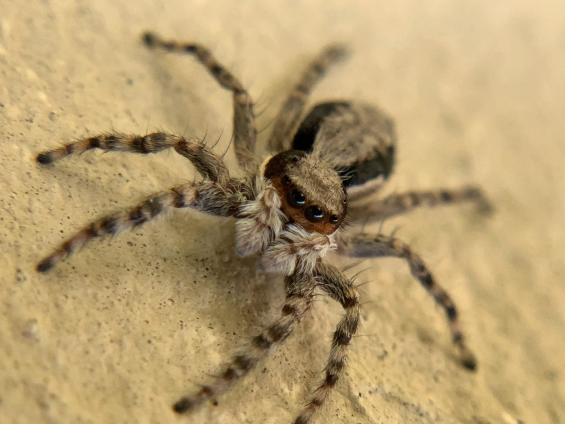 Image of a Jumping Spider.