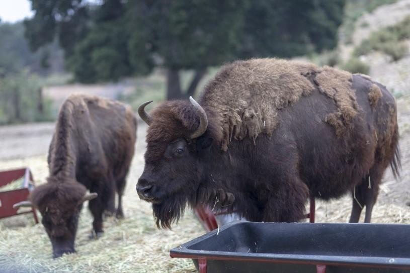 Bison at Hart