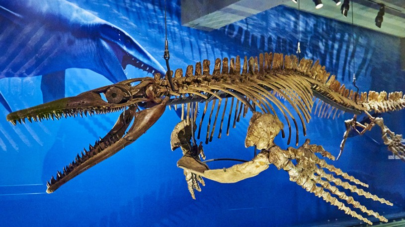 mosasaur skeleton in dinosaur hall