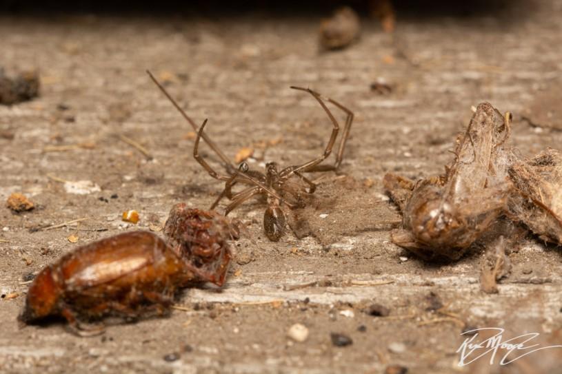 Widow prey items