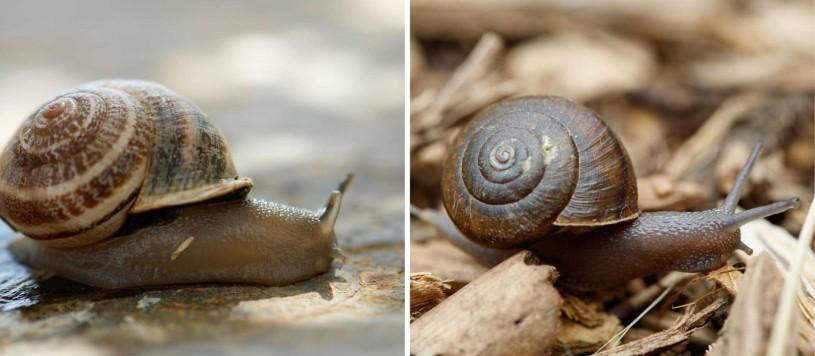 comparison of two snails