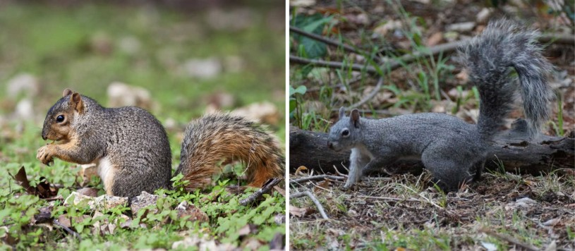 comparison of two squirrels