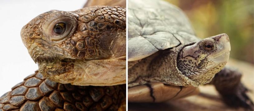 comparison of two tortoises