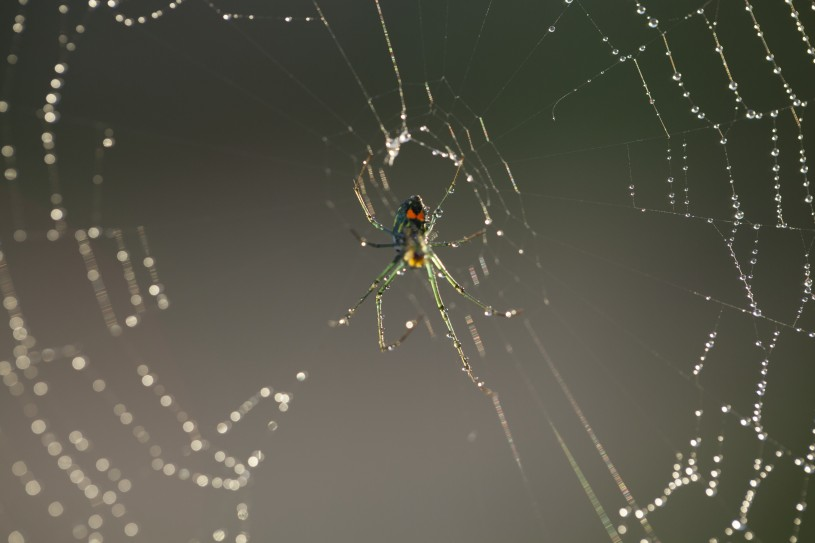 Spider in middle of dewy web