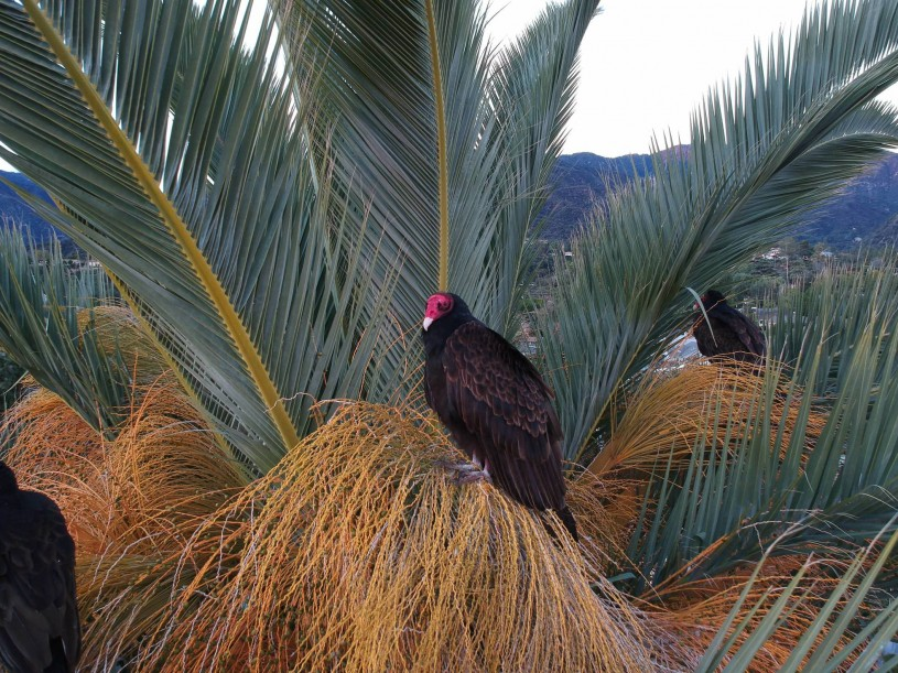 Turkey Vultures in Palm Trees
