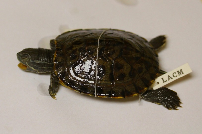Red-eared slider turtle specimen