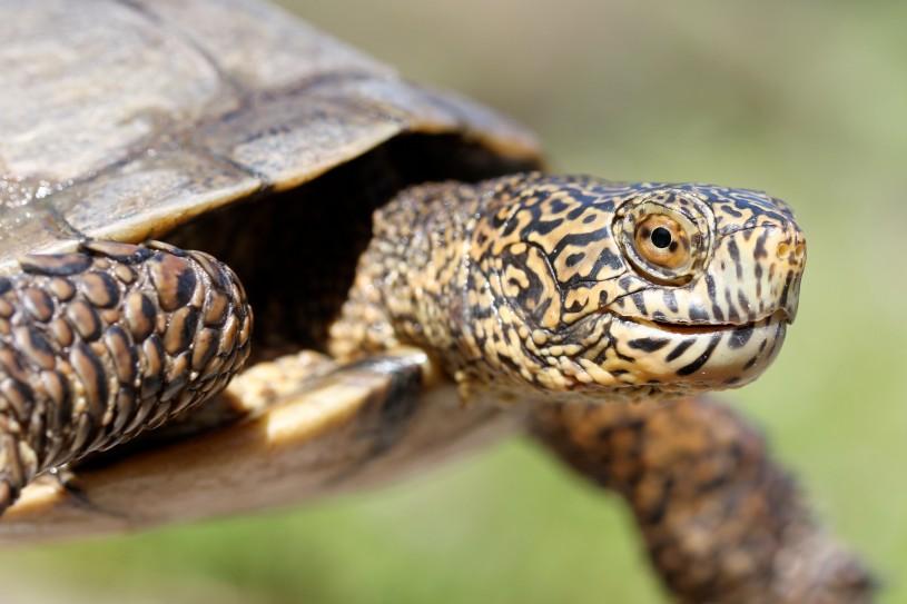 southwestern pond turtle (Emys pallida)