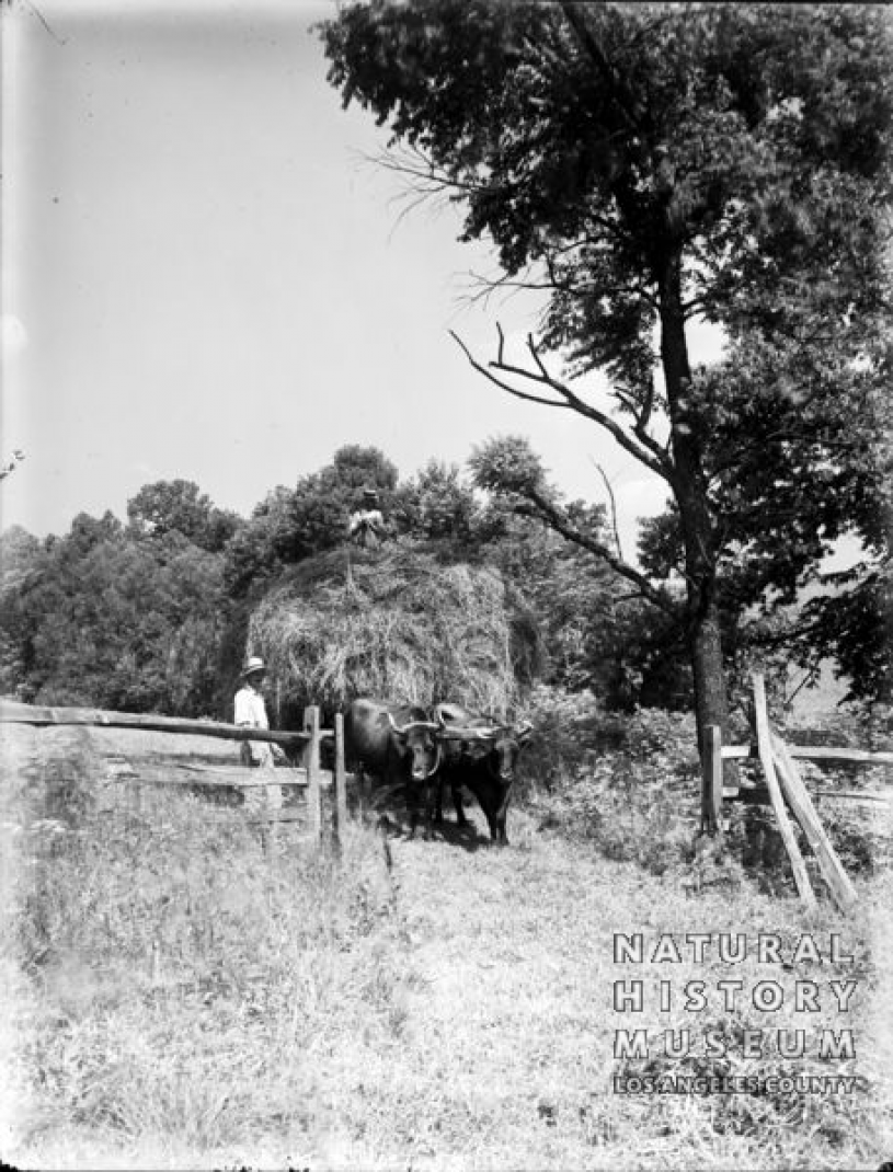 Load of Hay Drawn by Oxen