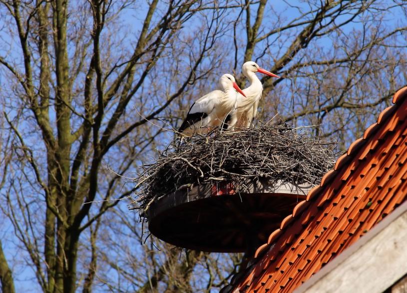 White Storks on a nesting platform