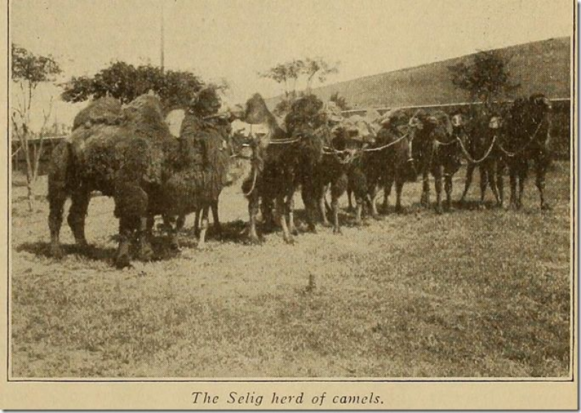 The Selig Herd of camels - most likely featuring Topsy.