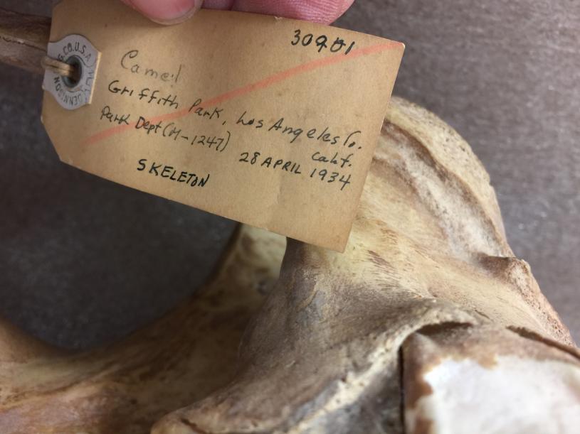 Data tag 'Camel. Griffith Park, Los Angeles Co, Calif. Park Department. 28 April 1934. Skeleton.'