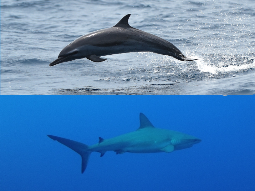 reef_shark_henrya_dolphin_ahmeddomarr_inat_0