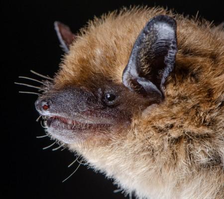 Big brown bat (Epetiscus fuscus)