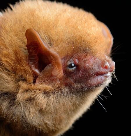 Western yellow bat (Lasiurus xanthinus)
